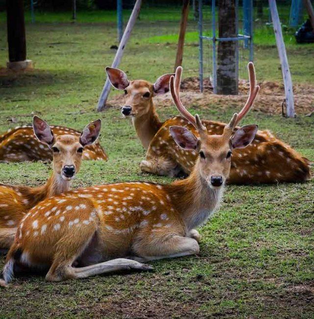 กวางซิก้า  (Sika deer, Japanese deer)