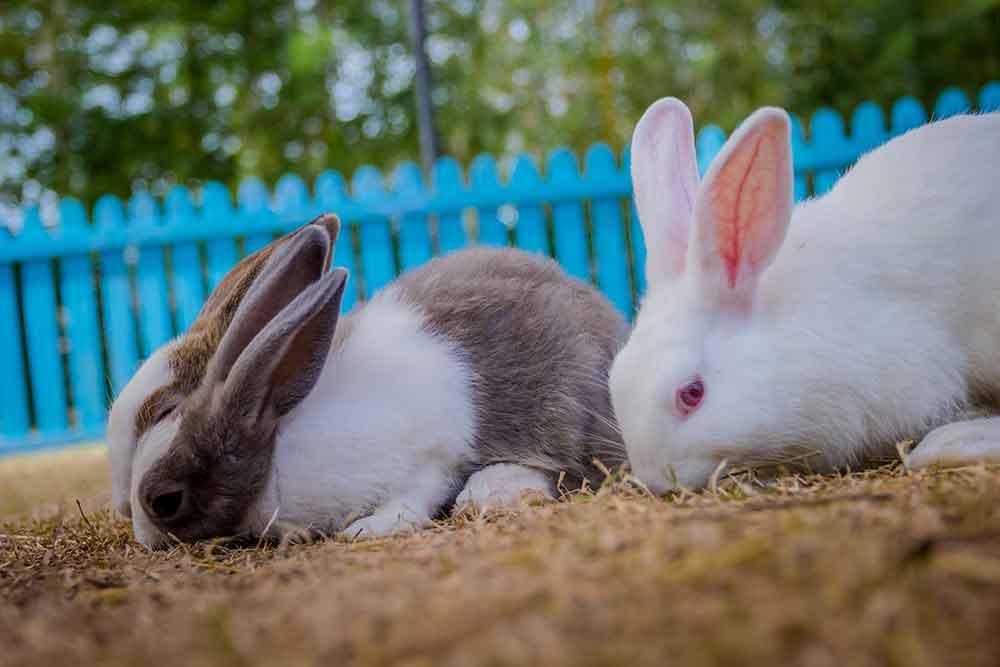 กระต่ายฮอลแลนด์ลอป  (Holland Lop)