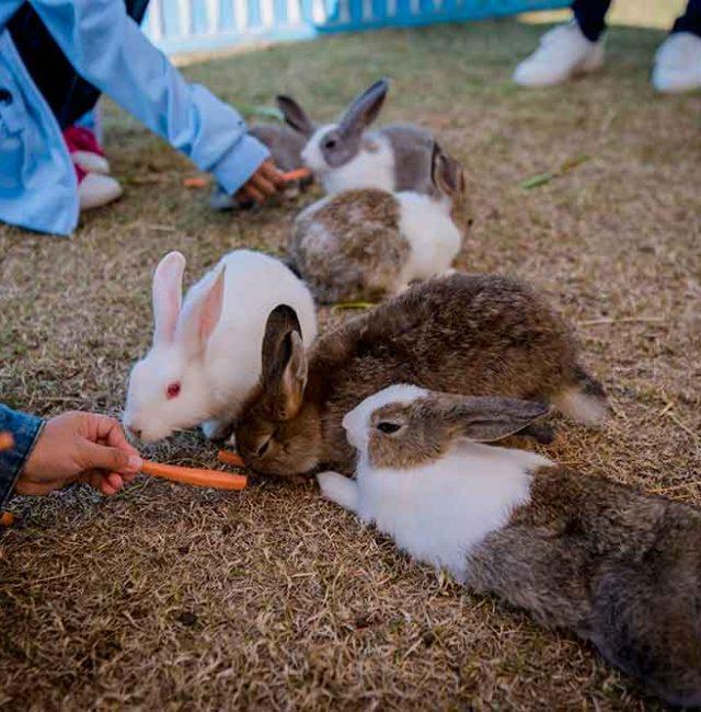 กระต่ายเนเธอร์แลนด์ดวอฟ  (Netherland Dwarf)