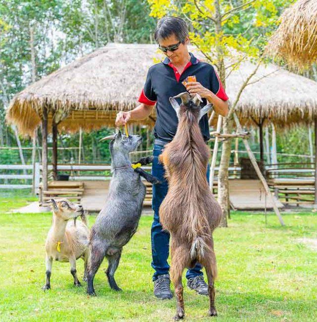 แพะปิ๊กมี่แอฟริกัน (Pygmy Goat)