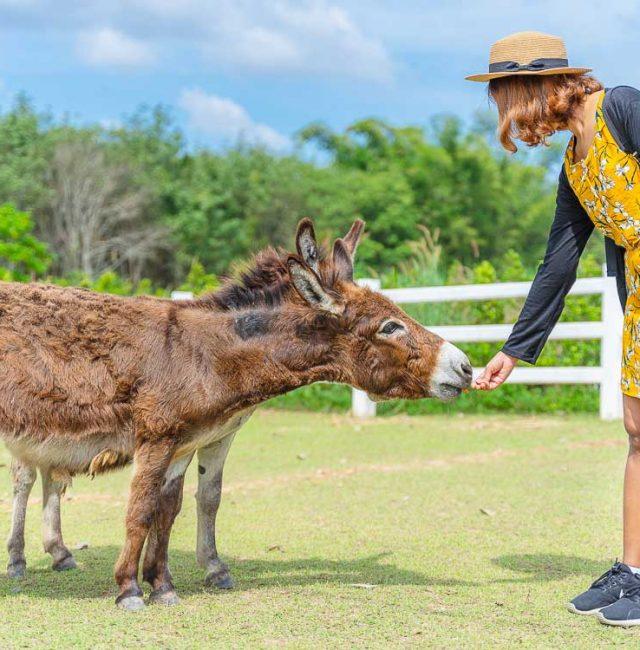 ลาแคระ (Donkey)