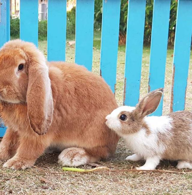 กระต่ายยักษ์เฟรนซ์ลอป (Freach Lop )
