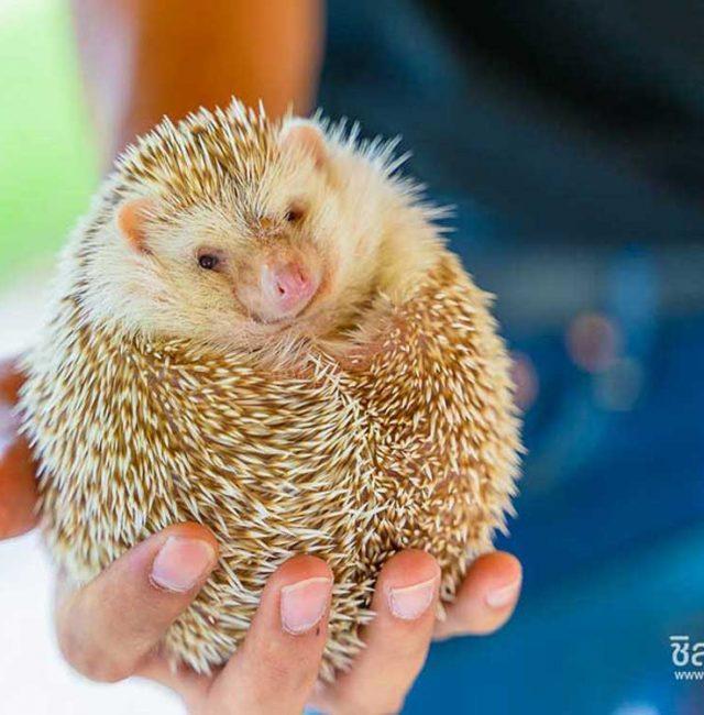 เม่นแคระ (Hedgehog)
