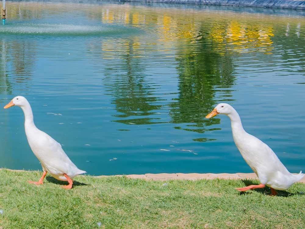 เป็ดอินเดียนรันเนอร์ (Indian runner duck)