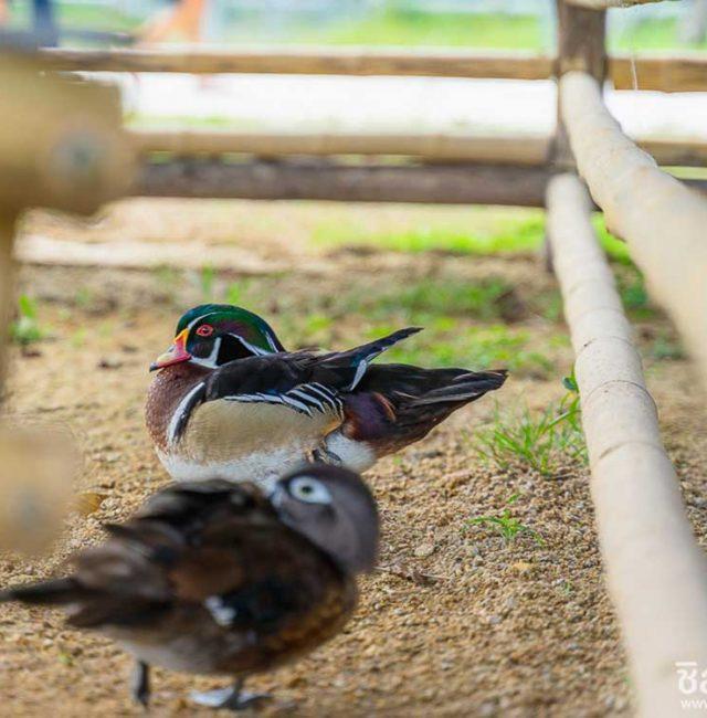 เป็ดวู้ดดั้ก ( Wood Duck )