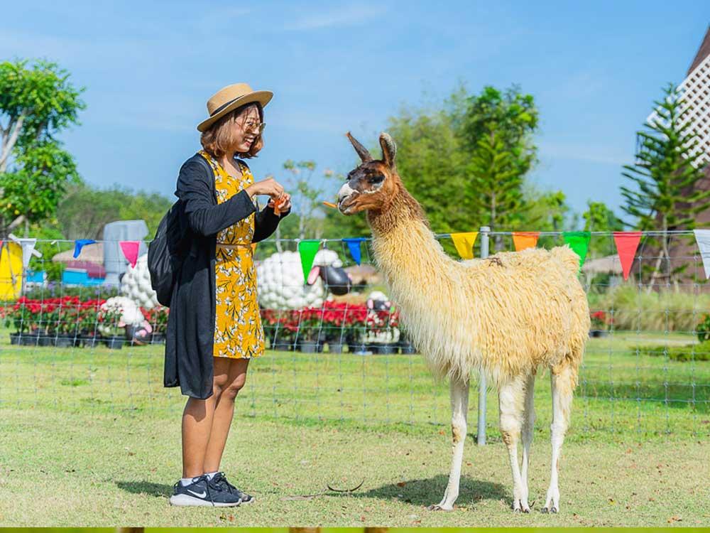ลามะ หรือ ลามา (Lama glama)