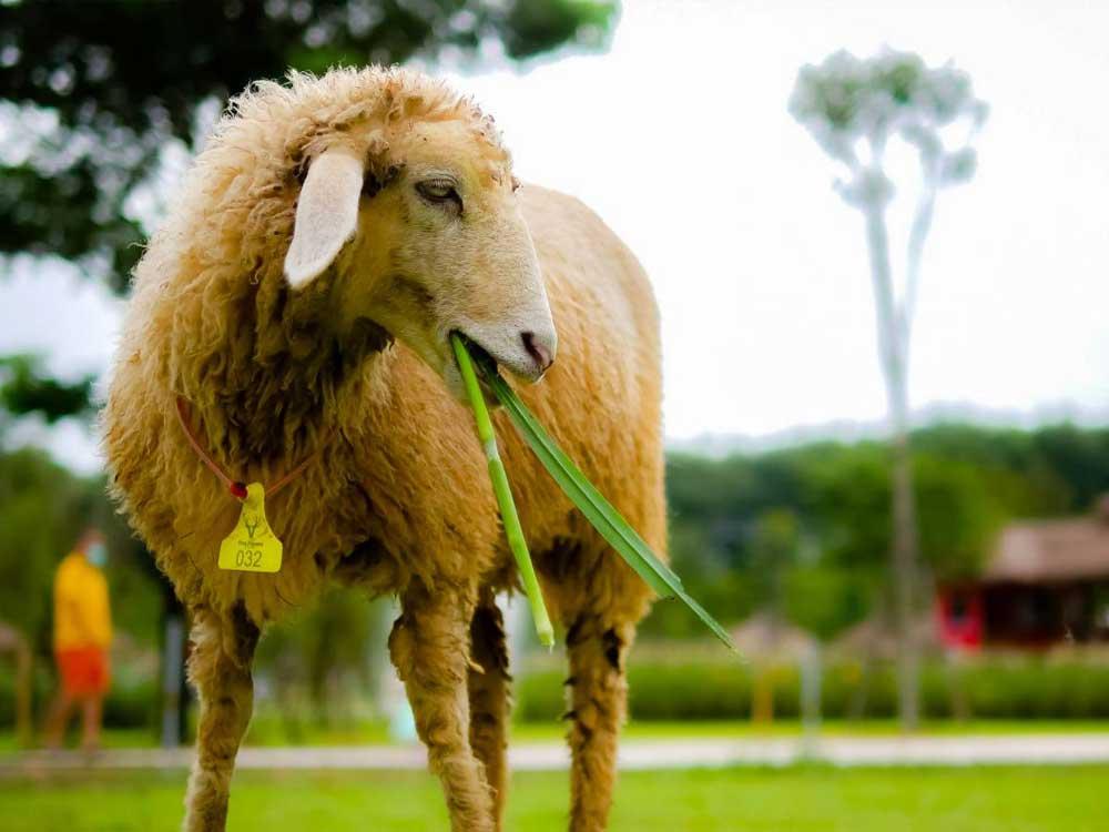 แกะ (Sheep)