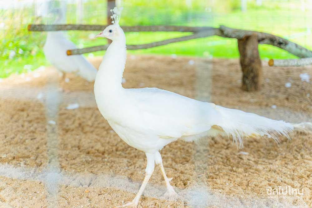 นกยูงอินเดียขาว (Indian peafowl)